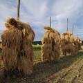 稲の天日干し
