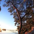 写真: 逞しい松島の赤松
