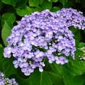 丸い花びらの紫陽花