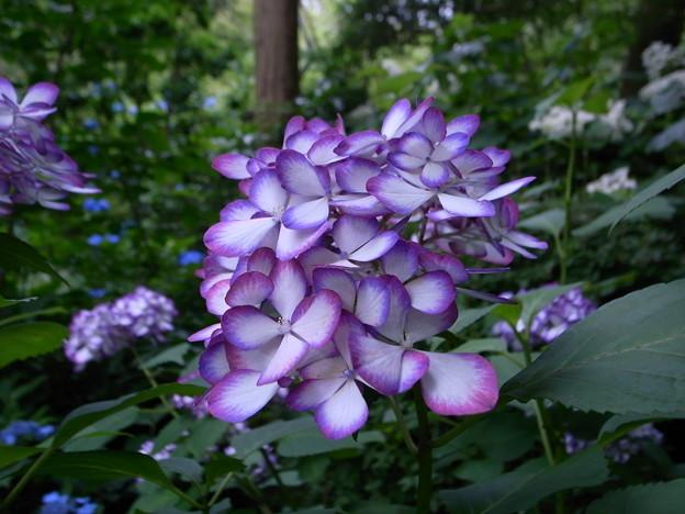 Photos: 紫陽花 紫 明月院にて