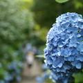 Photos: 青の紫陽花
