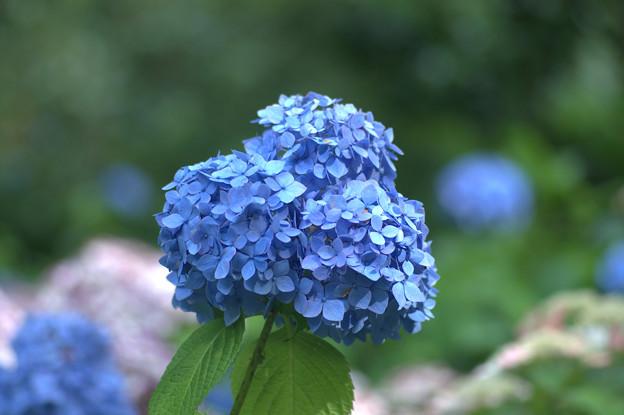 Photos: 紫陽花 青