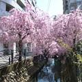 Photos: 2014/4/5に見た桜。