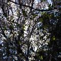 Photos: 逆光桜_FA31_K5IIs