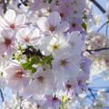 Photos: Oshimazakura_Sora_FA31_K5IIs