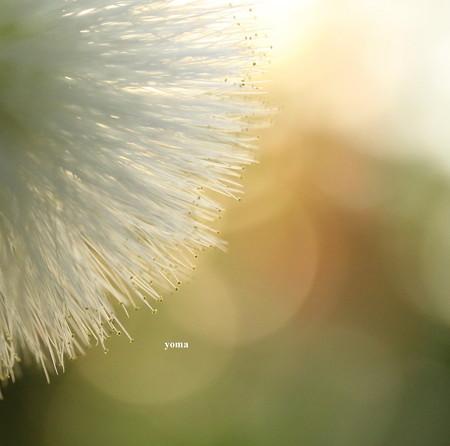 白ネムの花