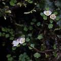 ハナネコノメ s-898A8248