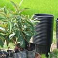 びわの苗木の植え替え