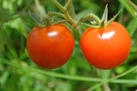 ハウスの中のプチトマト