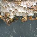 Photos: ハウス内の蜂の巣