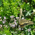 Photos: 蜜を吸うアゲハチョウ