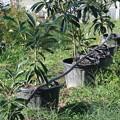 Photos: かん水チューブとびわの苗木