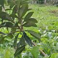 写真: 斜めに生えているびわの苗木