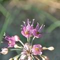 エシャレットの花