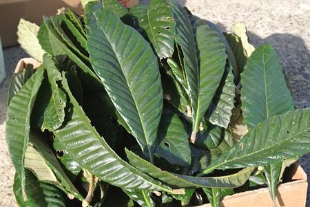 びわの葉1kg