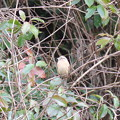 Photos: びわ山の小鳥
