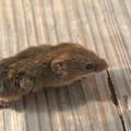 Photos: 野ネズミ