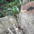 写真: マテバシイの伐採