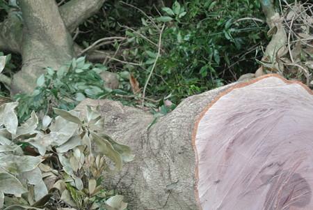 伐採されたマテバシイ
