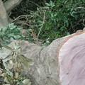写真: 伐採されたマテバシイ