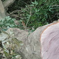 Photos: 伐採されたマテバシイ