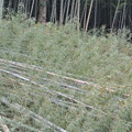 Photos: 竹林伐採後