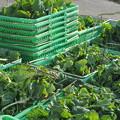 食用菜花の収穫