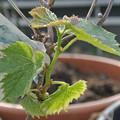 写真: ブドウの新芽
