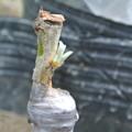 写真: びわの接ぎ木の新芽