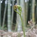 竹林のワラビ