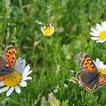 Photos: 白い花と蝶