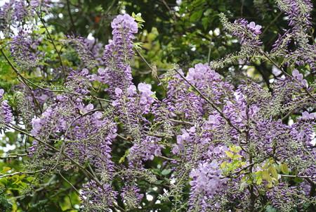 藤の花の開花