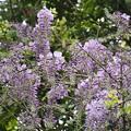 Photos: 藤の花の開花