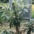 植え付け2年目のびわの苗木