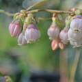 Photos: ブルーベリーの開花
