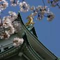 写真: 20080331名古屋城 桜