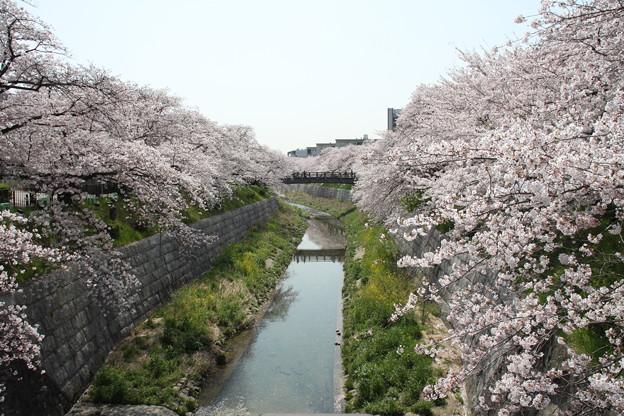 写真: 20100406山崎川