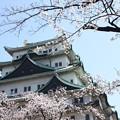 写真: 20110406名古屋城(桜) (2)