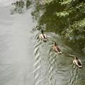 写真: 鴨の家族?