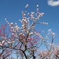 写真: 青空下の梅たち