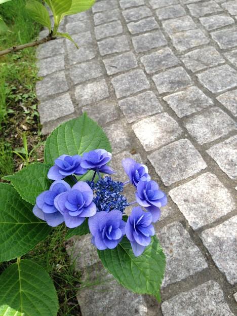 珍しい咲き方のアジサイ発見!