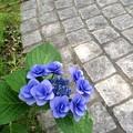 Photos: 珍しい咲き方のアジサイ発見!