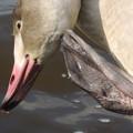幼鳥(白鳥)