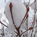 雪中の紅葉