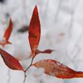 雪中の紅葉-2