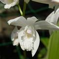 Photos: 白花シランのアップ