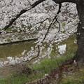 写真: 山崎川の桜 #401