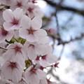 Photos: YAMATOの桜