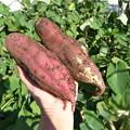 Photos: サツマイモ収穫1