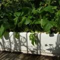 Photos: かぶのプランター栽培1